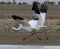Save Endangered Whooping Cranes from XL Pipeline