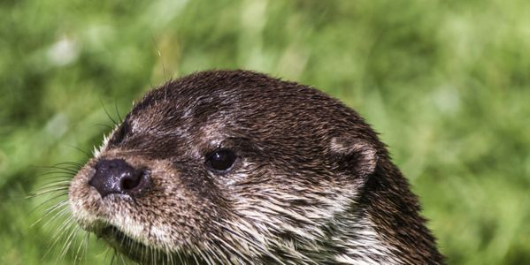 Do Not Allow an Otter Cull in Scotland