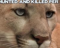 Plese save the mountain lion that just fell into the Aquaduct in Santa Cruz Ca.