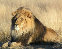 U.S.- Stop Imports of Lion Trophies