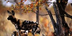 Protect the african Wild Dog