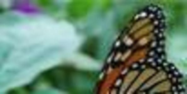 Help Save Monarch Butterflies (or other butterflies, too in your part of the world)