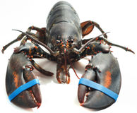 Demand Bean Seafood Plant Stop Ripping Apart Live Lobsters & Crabs