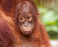 Stop Orangutan Slaughter in Borneo