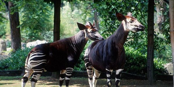 Protect an unique animal, the Okapi