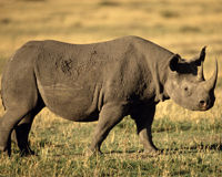Join the Fight to Save Rhinos from Poaching