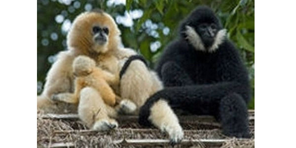 Save Endangered Gibbons