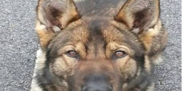 Police are Asking Public for Help in Finding Missing Police Dog