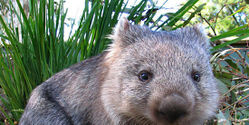 Help Save Wombats