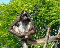 Save the Brown Spider Monkey