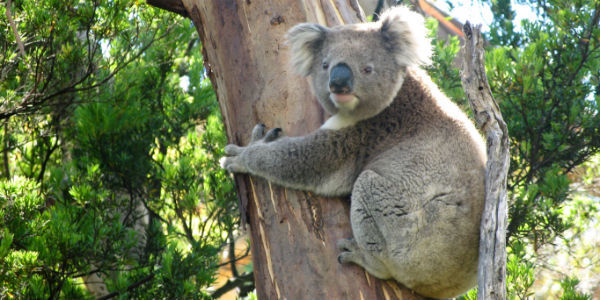 Save Byron Bay Koalas from Housing Development!