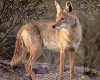 Tell Utah- Don't Slaughter Coyotes