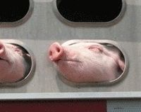 Stop shipping live pigs to Haway for slaughter