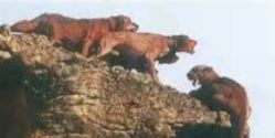 Tell S. Dakota- Stop Hunting Cougars with Hound Dogs
