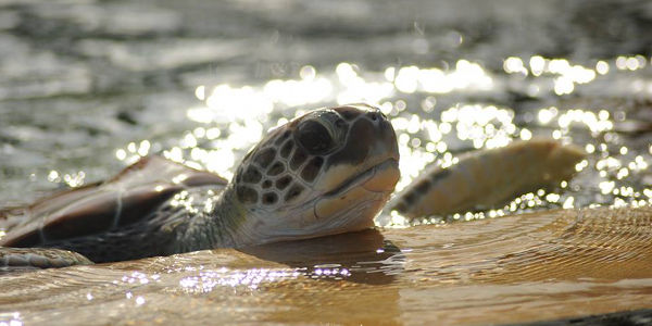 Stop Sea Turtle Farming