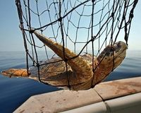 Stop Killing Endangered Sea Turtles in the Maldives