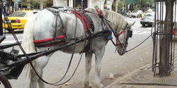 Ban The Use of Horse Carriages