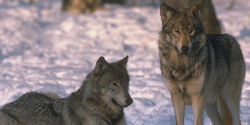 Tell USFWS to Keep Wolves on the Endangered Species List!