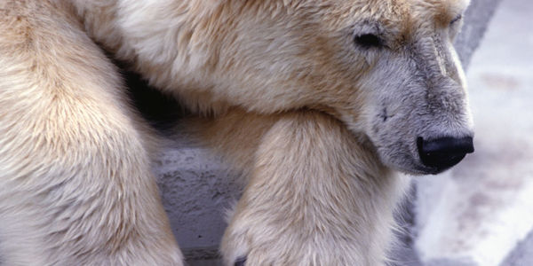 Don't Let Billionaire Build a Polar Bear Tourist Attraction!