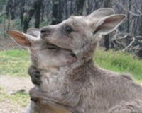 Save a joey from cruelty