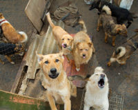 Save Dogs from Slaughter in Thailand!