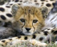 Stop the Capture and Trade of Cheetahs