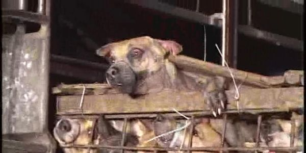 DEMAND THAILAND AND VIETNAM PUT AN END TO THE DOG MEAT TRADE