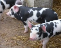 Request that Peasenhall Primary School reconsider raising and killing three piglets.