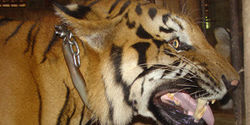 The Wildlife Trade & Animal Abuse - Tiger Temple - Behind the Cloak of Buddha
