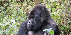 MOUNTAIN GORILLA IS IN NEED...IT NEED US BECAUSE WE HAVE ALMOST RUINED IT'S HABITAT ANS THEREFORE TH