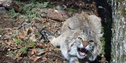 End bobcat trapping in New Hampshire forever