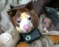 Tree Kangaroo Conservation