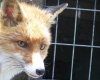 Stop Fox Penning in Virginia