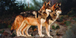 Help Secure a Future for Mexican Gray Wolves