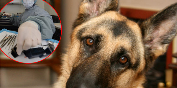 Petition Stop Serbian Army From Sacrificing Eight German Shepherds