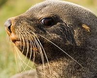 Save the Namibian Cape Fur Seals From Extinction