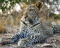 Stop the Leopard Slaughter for Skins