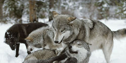 Stop The Official Delisting Of Wolves From Endagered Species List