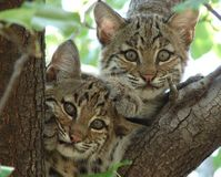 Ban the Export of Bobcat Skins from the U.S.