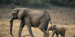 Stop Elephant Poaching in Kenya!