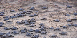 Save Baby Kemp's Ridley Sea Turtles