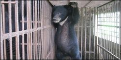 Save Moon Bears from Bear Farming Torture