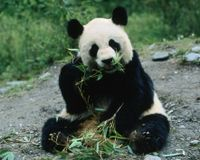 China- Protect Giant Panda Habitat