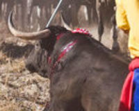 NO MORE BULLFIGHTING, TORTURED BULLOF TORDESILLAS OR CORIA, FIREBULL! YA NO MAS CORRIDAS, TOROS DE L