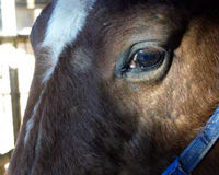 Urge U.S. Agriculture Secretary to Stop Horse Slaughter from Resuming!