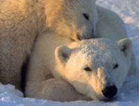 No Offshore Drilling in Polar Bear Habitat!