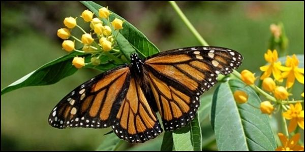 Protect Monarch Butterflies from Monsanto