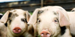 Tell the Seaboard Corporation to stop housing pigs in cruel gestation crates