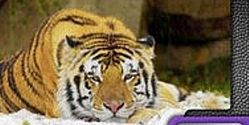 Retire Tiger as Louisiana Football Mascot