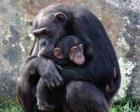 Help Captive Chimps, Save Wild Ones Too